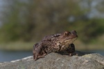 Skrubtudse (Bufo bufo)
